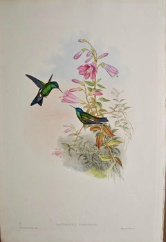 """19th C. Gould Hand-Colored """"Cyanifrons"""", Blue-capped Saucerottia Hummingbirds"""