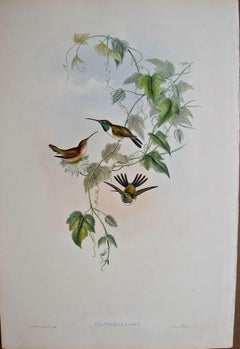 "19th C. Gould Hand-Colored ""Fanny's Calothorax"" Wood Star Hummingbirds"