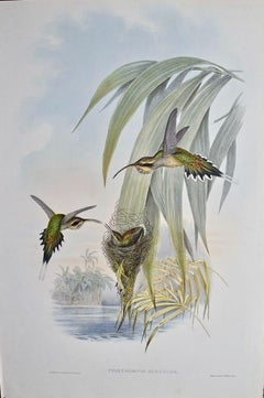 """19th C. Gould Hand-Colored """"""""  Hummingbirds"""