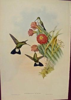 "19th C. Gould Hand-Colored ""Hypuroptila"" Plumeleteer Hummingbirds with Cactus"