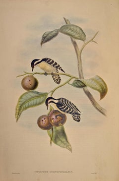 19th C. Gould Hand-colored Lithograph of Ceylonese Pygmy Woodpeckers
