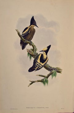 19th C. Gould Hand-colored Lithograph of Heart Spotted Woodpeckers