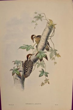 19th C. Gould Hand-colored Lithograph of Malayan Pygmy Woodpeckers