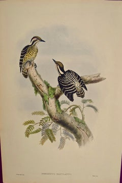 19th C. Gould Hand-colored Lithograph of Sonnerat's Pygmy Woodpeckers