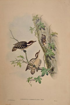 19th C. Gould Hand-colored Lithograph of Travancore Peninsularis Woodpeckers