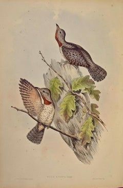 """19th C. Gould Hand-colored Lithograph of """"Yunx indica"""" (Indian Wryneck Birds)"""