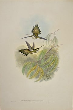 19th C. Gould Hand-colored Phaethornis Anthophilus (Pallid Hermit Hummingbirds)