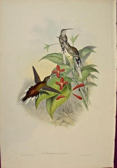 """19th C. Gould Hand-Colored """"Phaethornis Augusti"""" Salle's Hermit Hummingbirds"""