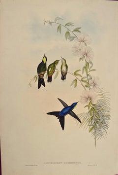 19th C. Gould Hand-colored Ramphomicron Microrhyncha (Thorn-billed Hummingbirds)