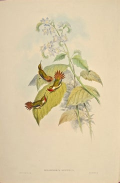 19th C. Gould Hand-colored Selasphorus Scintilla (Flame-bearer Hummingbirds)