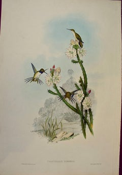 """19th Century Gould Hand-Colored """"Calothorax"""", Yarrell's Wood-star Hummingbirds"""