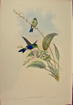 "19th Century Gould Hand-Colored ""Thalurania"" Brazilian Panoplites Hummingbirds"