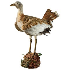 Great Bustard 'Otis tarda'