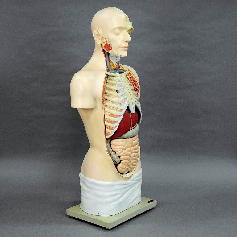 German Great Male Anatomical Bust by Louis M. Meusel, circa 1920 For Sale