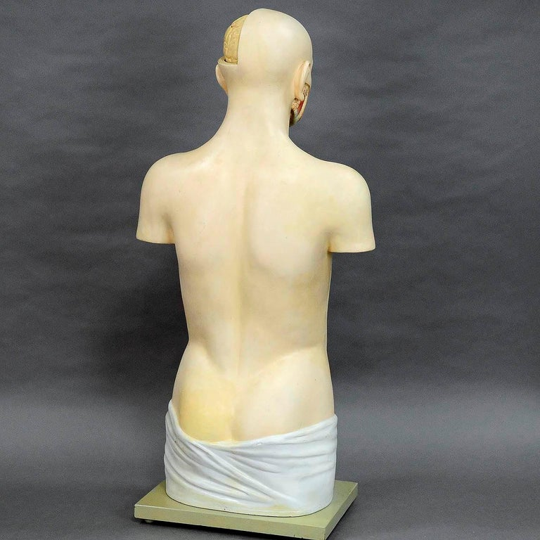 Great Male Anatomical Bust by Louis M. Meusel, circa 1920 In Good Condition For Sale In Berghuelen, DE