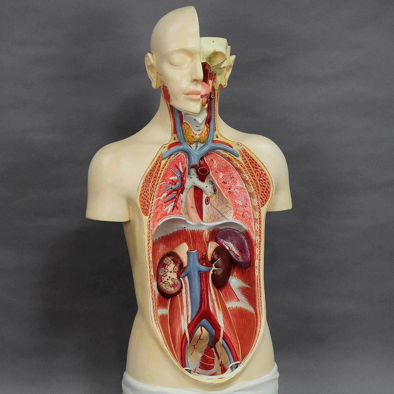 20th Century Great Male Anatomical Bust by Louis M. Meusel, circa 1920 For Sale