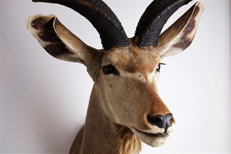 Greater Kudu head and shoulders, 20th century horn length approximate 1.35m.