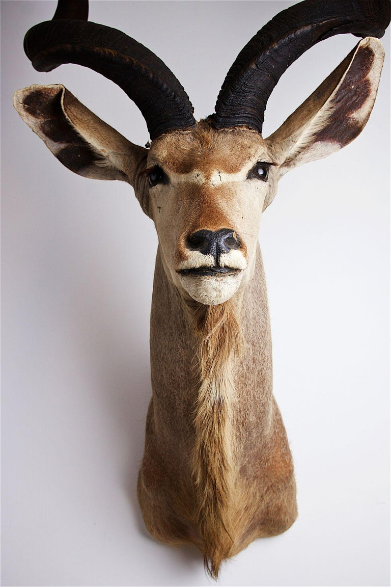 South African Greater Kudu Head and Shoulders For Sale