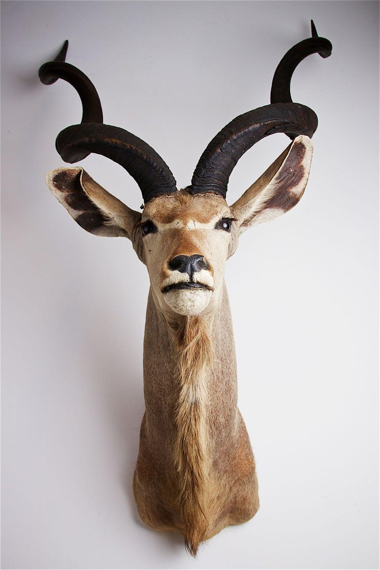 Greater Kudu Head and Shoulders In Good Condition For Sale In Stratford upon Avon, GB