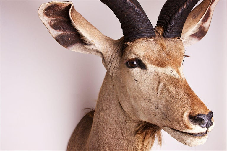 20th Century Greater Kudu Head and Shoulders For Sale