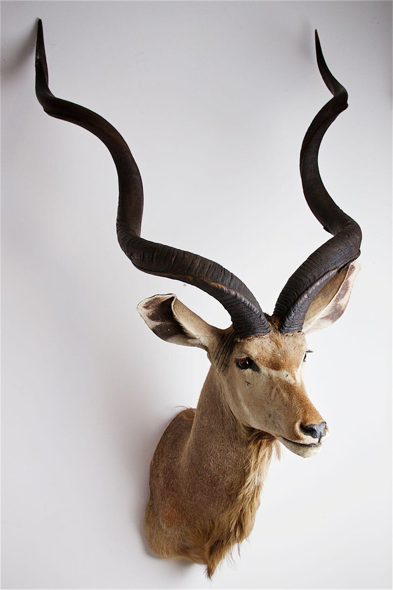 Animal Skin Greater Kudu Head and Shoulders For Sale