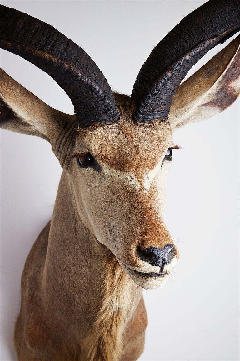 Greater Kudu Head and Shoulders For Sale 1