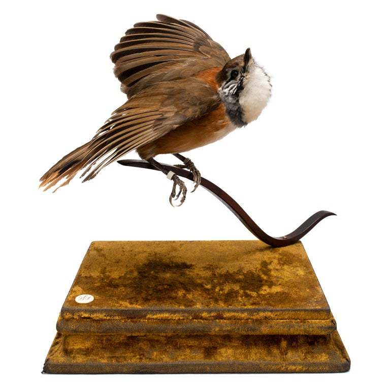 Greater Necklaced Laughingthrush Fine Taxidermy by DS&vT 2