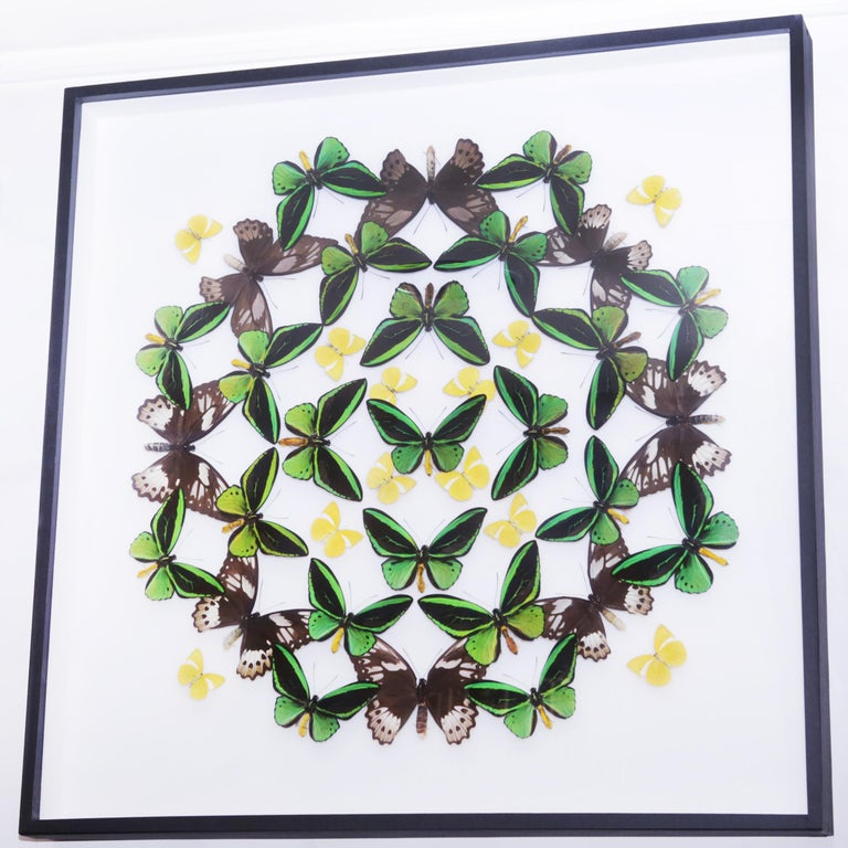 Wall decoration green and yellow butterflies with natural butterflies from farms, from Thailand. Under glass box frame. Made in France by Olivier Violo. Exceptional and unique piece.