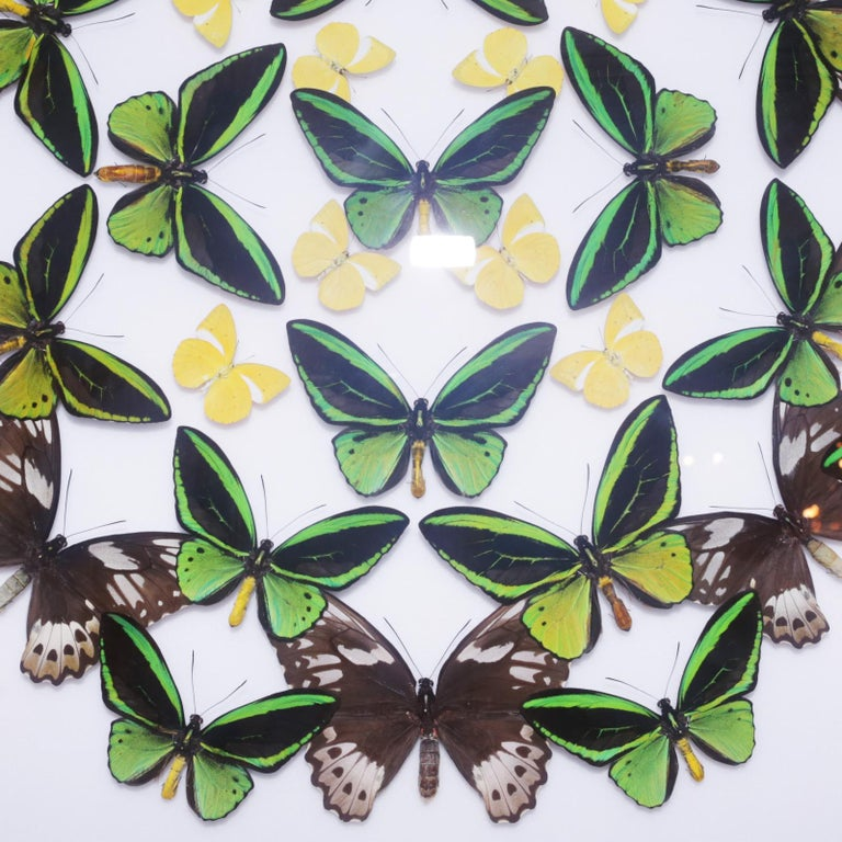 Green and Yellow Butterflies Wall Decoration Under Glass Box Frame In New Condition For Sale In Paris, FR
