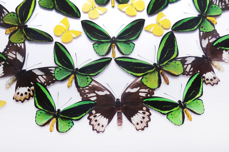Contemporary Green and Yellow Butterflies Wall Decoration Under Glass Box Frame For Sale