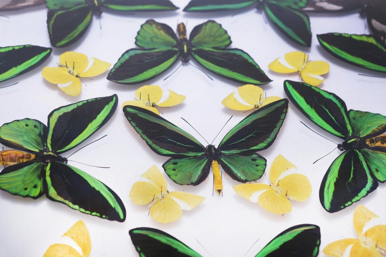Green and Yellow Butterflies Wall Decoration Under Glass Box Frame For Sale 1