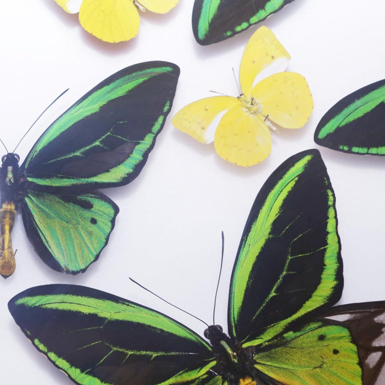 Green and Yellow Butterflies Wall Decoration Under Glass Box Frame For Sale 2
