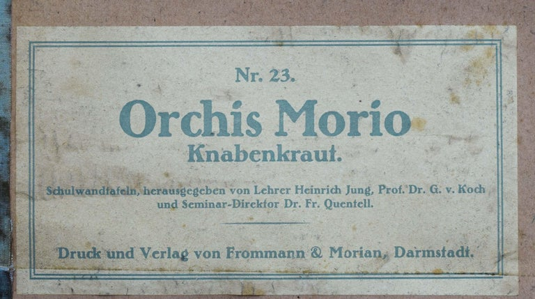 German Green-Winged Orchid, Rare Vintage Botanical Wall Chart, Jung-Quentell-Koch For Sale