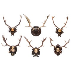 Group of Six Swiss 'Black Forest' Moose Antler Trophy Mounts, Early 20th Century