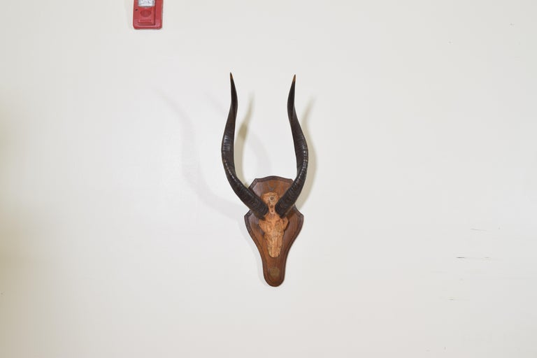 Also known as a Sitatunga, the partial skull mounted to an oak backplate mirroring the shape of a skull and having a molded edge, with hand stenciled plaque