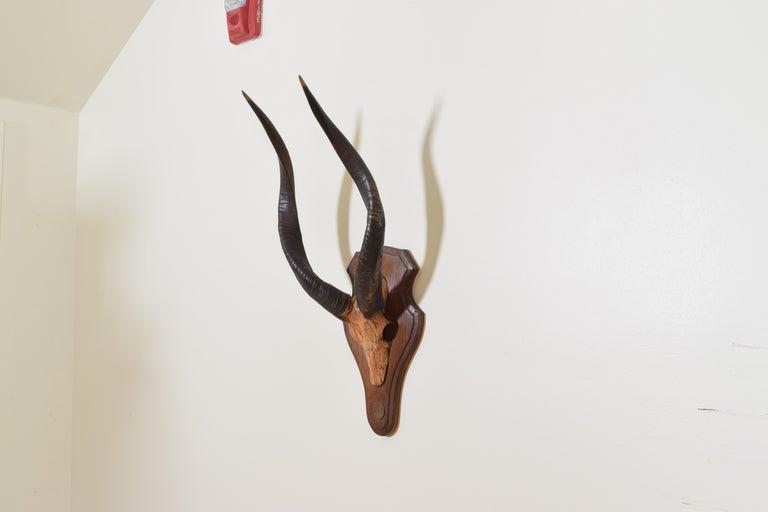 Gabonese Guib D' Eau Horn and Partial Skull Mount, Gabon, Africa, 20th Century For Sale