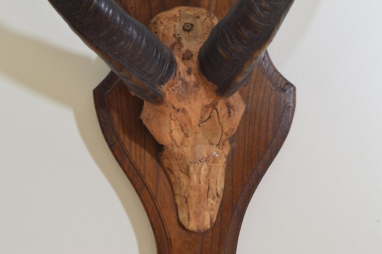 Mid-20th Century Guib D' Eau Horn and Partial Skull Mount, Gabon, Africa, 20th Century For Sale