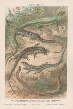 Lizards, Antique Natural History Chromolithograph, circa 1895
