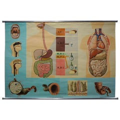 Hagemann Human Body Poster Wall Chart Print Digestive Tract of Food