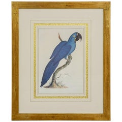 Hand Colored Ornithological Engraving of a Blue Parrot