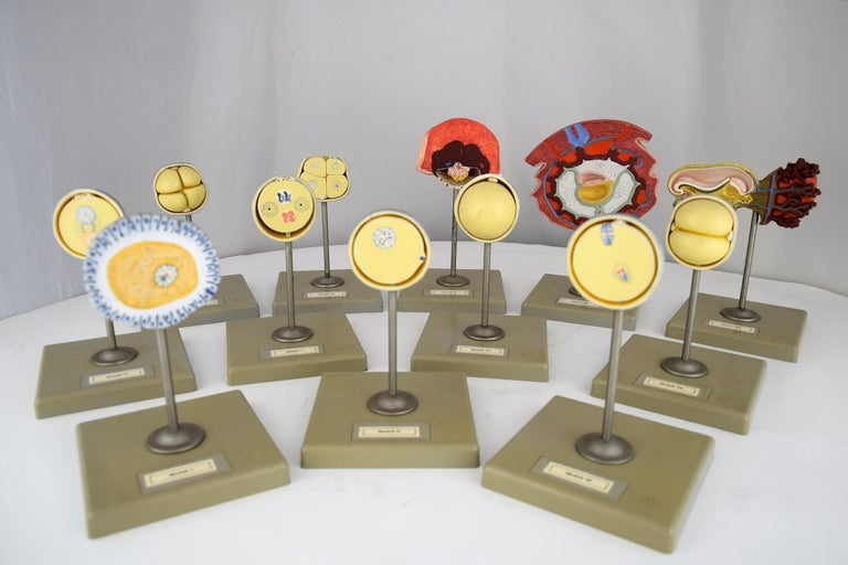 Handmade Mid-Century Modern Anatomical Cell Division Models For Sale 8