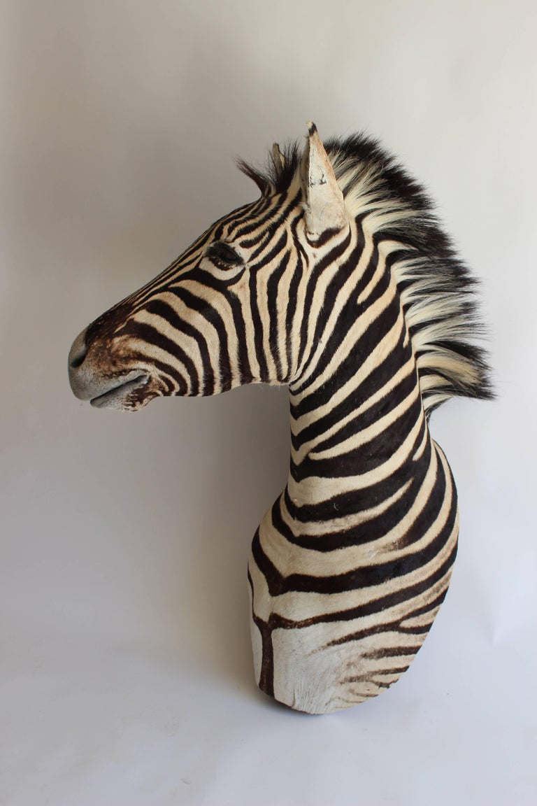 Handsome Taxidermy Zebra Mount For Sale 7
