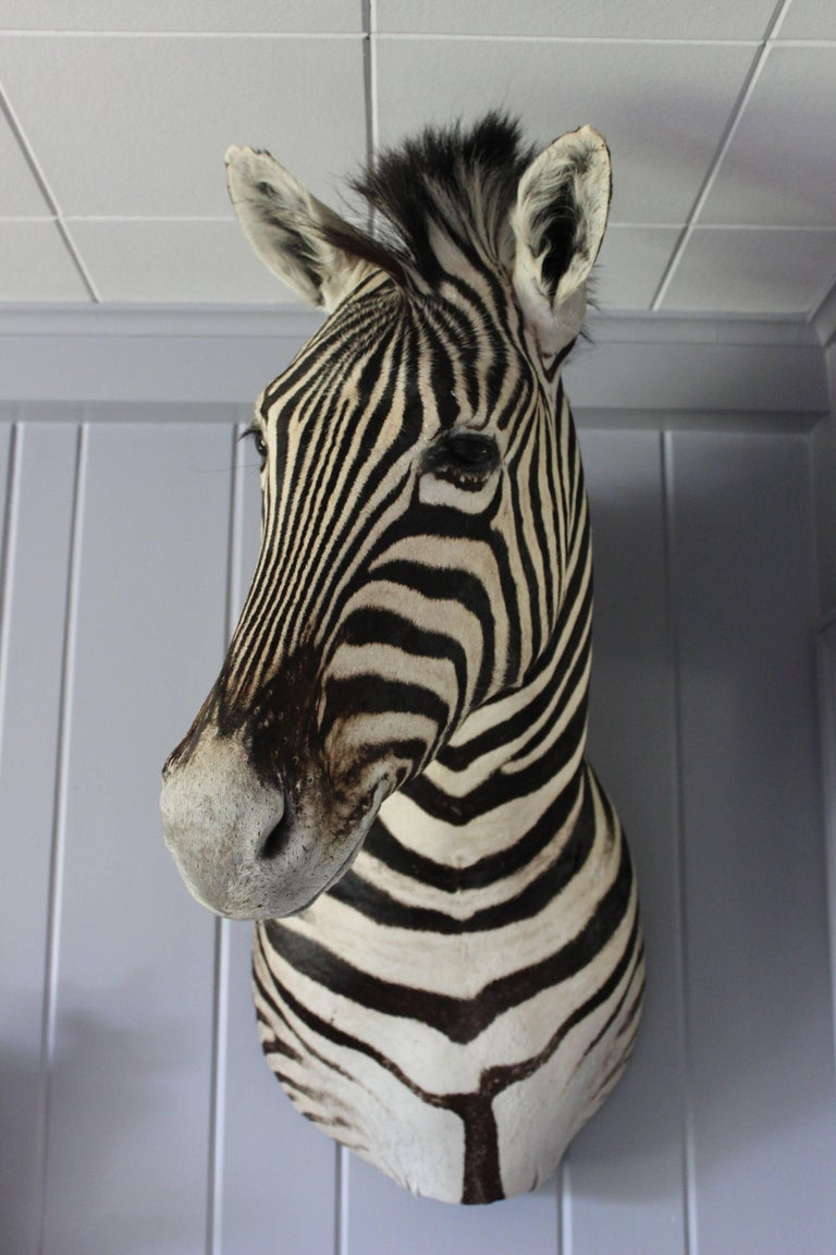 Handsome Taxidermy Zebra Mount For Sale 9
