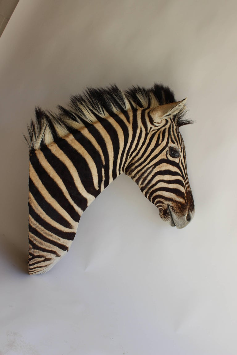 Zebra Head Taxidermy with a noble head and expression.....