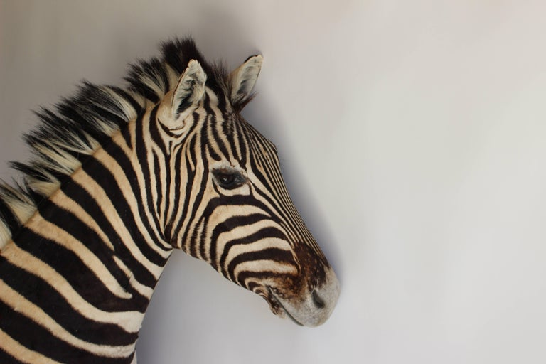 Handsome Taxidermy Zebra Mount In Excellent Condition For Sale In East Hampton, NY