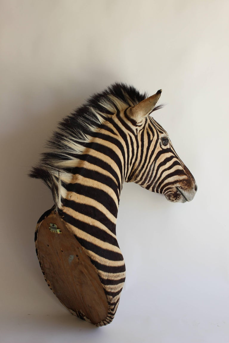 20th Century Handsome Taxidermy Zebra Mount For Sale