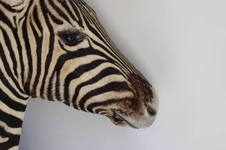 Handsome Taxidermy Zebra Mount For Sale 2