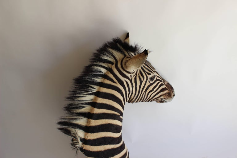 Handsome Taxidermy Zebra Mount For Sale 3
