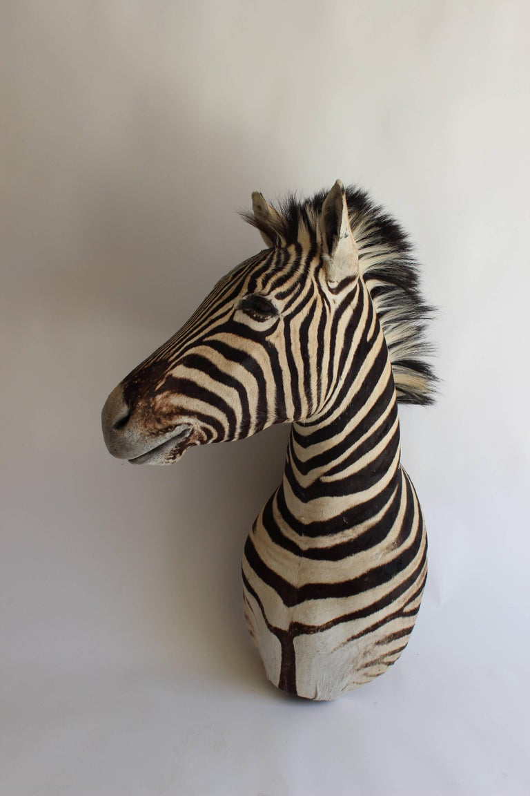 Handsome Taxidermy Zebra Mount For Sale 4