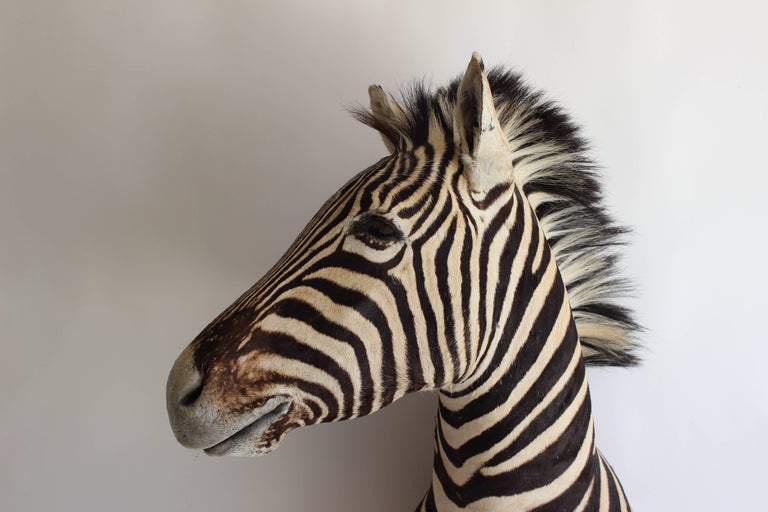 Handsome Taxidermy Zebra Mount For Sale 5
